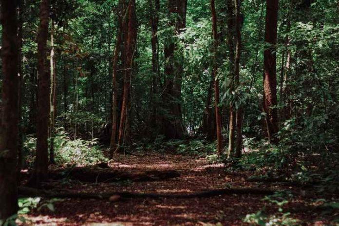 Moirangthem Loiya planted forest