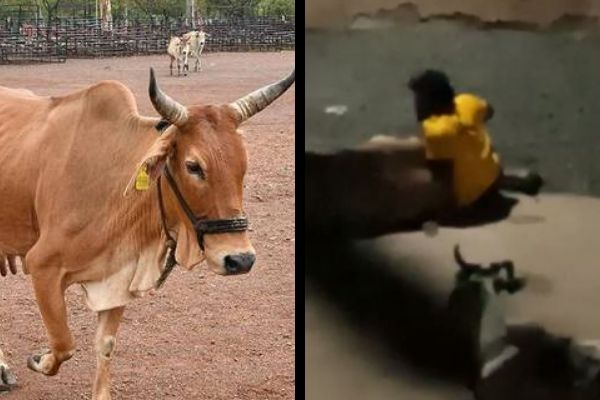 Muslim raping a cow